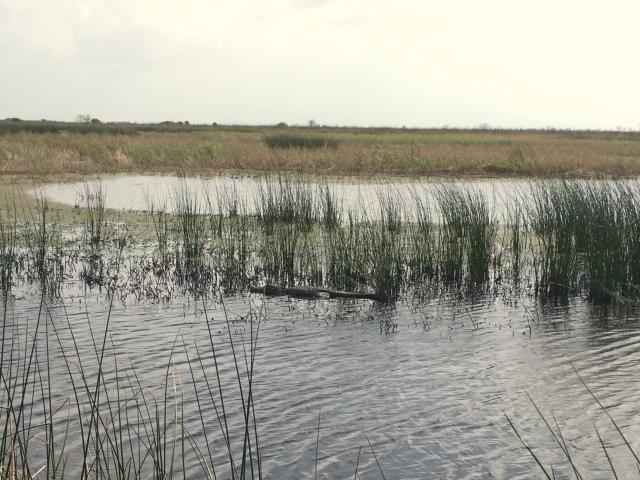 Brazoria alligator