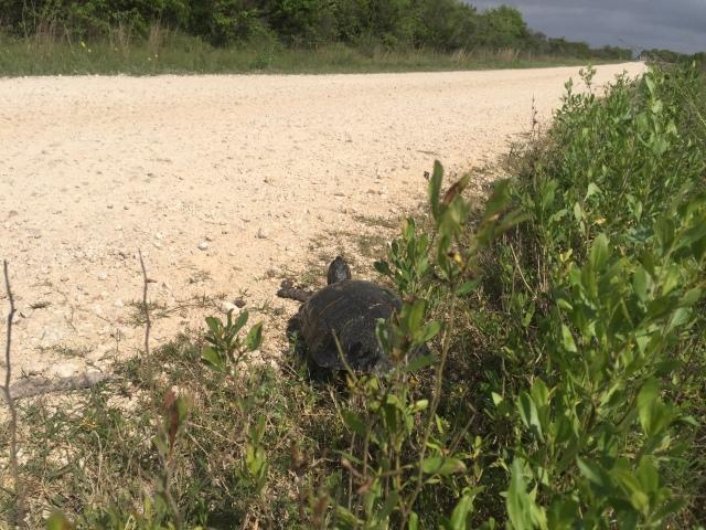 Brazoria turtle